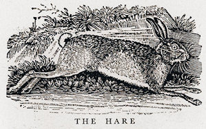 Brown Hare, by Thomas Bewick