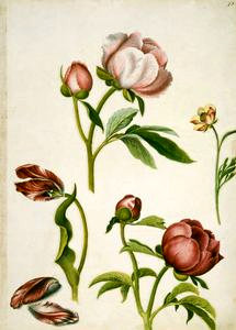 An illustration from Alexander Marshal's Florilegium