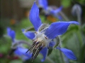 A single blue five-pointed flower of borage.