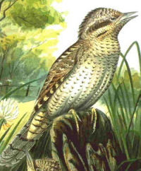 The European wryneck